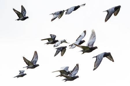 Foto de flock of speed racing pigeon flying against white background - Imagen libre de derechos