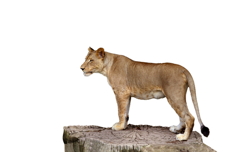 Foto de full body of lioness standing on large tree stump isolate white background - Imagen libre de derechos