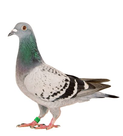 Photo pour full body of speed racing pigeon bird standing isolate white background - image libre de droit