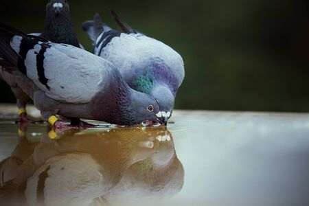 Photo pour two homing pigeon bird drinking water on roof floor - image libre de droit
