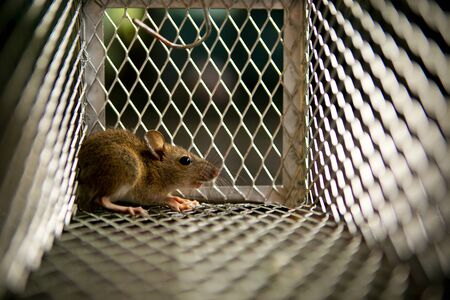 Photo for little rat trapped in mousetrap cage - Royalty Free Image