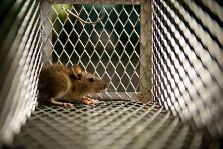 Foto de little rat trapped in mousetrap cage - Imagen libre de derechos