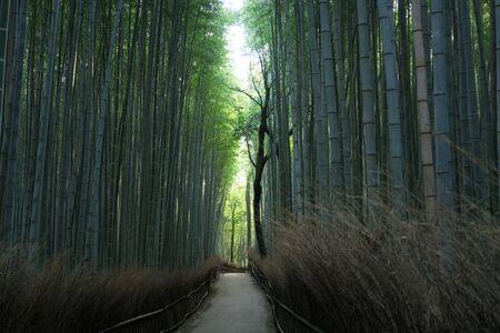 Photo pour Kyoto,Japan-February 24, 2020: Bamboo grove path in the winter morning in Arashiyama, Kyoto - image libre de droit