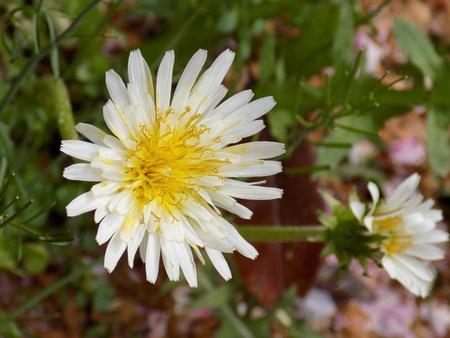 White flower dandelion Taraxacum albidum dandelion (Taraxacum albidum)