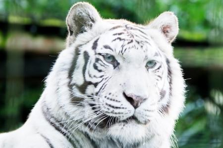 Closeup of white lion head l