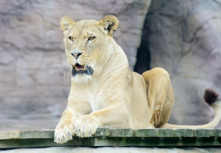 Lioness with mouth open  lo
