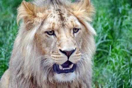 Photo pour Male Katanga Lion Head Closeup - image libre de droit