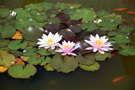 Photo pour Nymphaea Waterlilies in the Pond with Red Fishes Around - image libre de droit