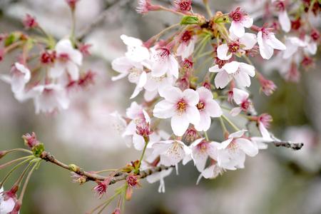 Photo pour The close up picture of beautiful cherry blossom tree. - image libre de droit