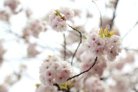 Photo pour The close up picture of beautiful cherry blossom. - image libre de droit