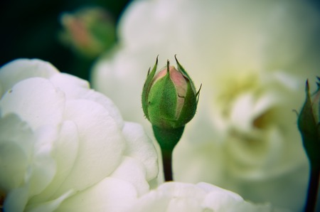 White rose bud on a garden background. New buds.