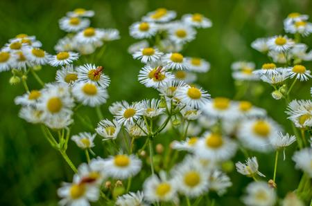Foto de Blooming chamomile field, Chamomile flowers on a meadow in summer - Imagen libre de derechos