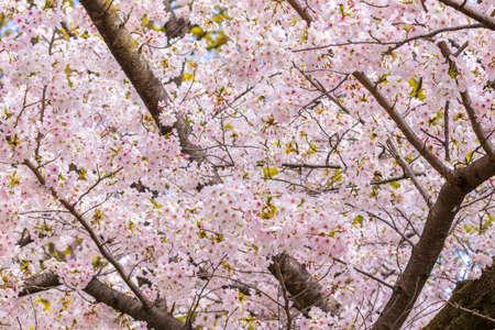 Photo pour Pink cherry blossoms in full bloom - image libre de droit