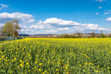 Photo for Ripened rapeseed on a field in western Germany, in the background a blue sky with white clouds. - Royalty Free Image