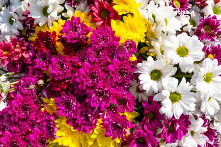 Foto de Background made of beautiful, colorful flowers of chrysanthemums and margaret. - Imagen libre de derechos