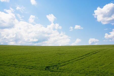 Photo pour Green wheat field with blue sky - image libre de droit