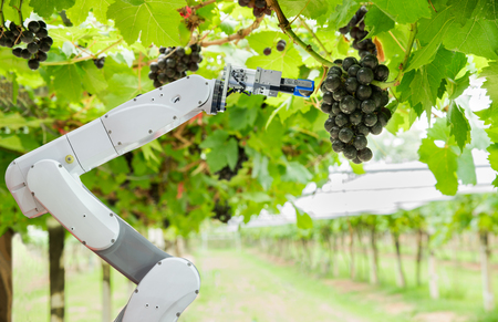 Photo for Agricultural robot assistant harvesting grapes to analyze the grape growth, Smart farm concept - Royalty Free Image