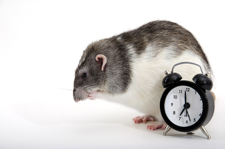 Portrait of decorative rat with alarm clock.