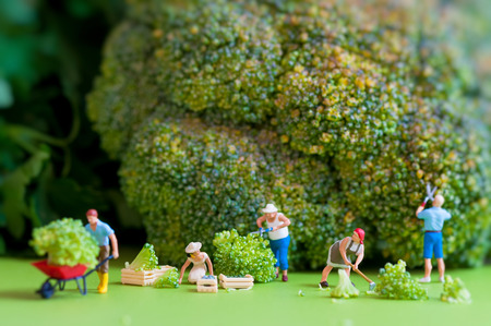 Group of farmers harvesting a giant cauliflower  Macro photography