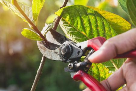 Foto de Gardener pruning trees with pruning shears on nature background. - Imagen libre de derechos