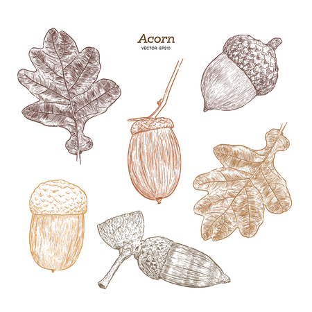 Illustration pour Set of acorn, hand draw sketch vector. - image libre de droit