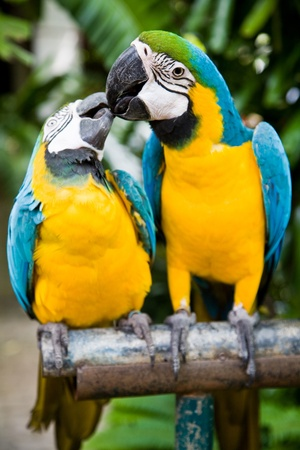 Photo of 2 parrots kissing, shallow depth of field