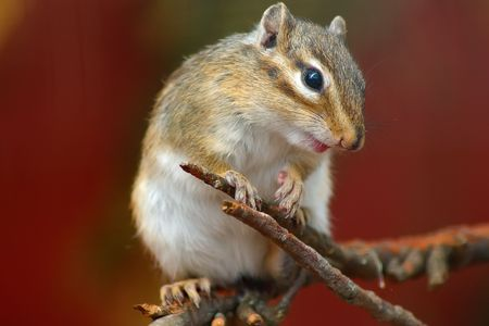 A close-up of a cute rodent