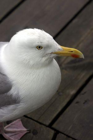 seagull on the wooden floor of a bathing establishment