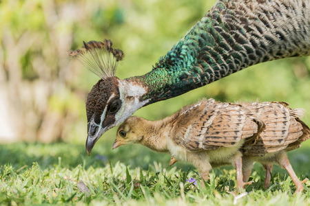 female peacock and her child at Los Angeles