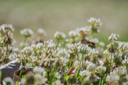 Close up shot of  Trifolium repens blossom and bee