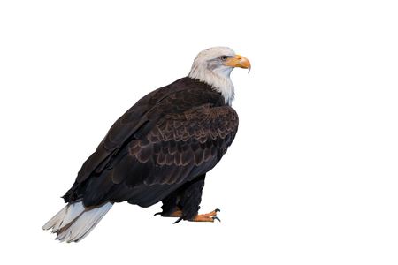 Bald eagle on white background. Clipping path included