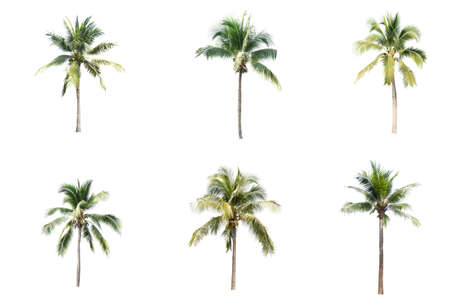 Photo pour Palm tree or Coconut tree ,a green leaf isolation for summer background ,relax and vacation holiday summer concept - image libre de droit