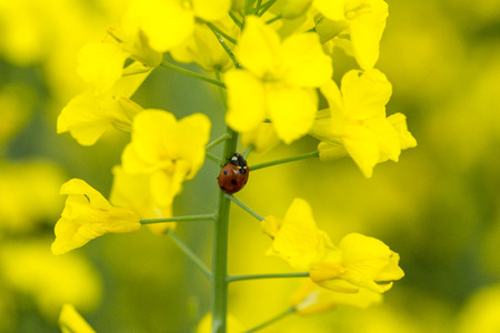 Photo pour A ladybug on a canola flower - image libre de droit