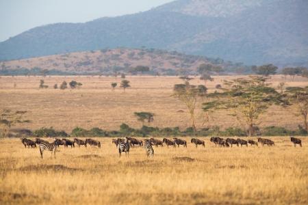 Animals a early morning in Serengeti, Tanzania Sunrise, east Africa