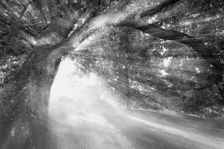 Black and white picture of sunbeams shining through in the forest