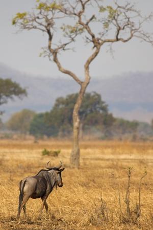 Wildebeest standing in the savannah in Mikumi, Tanzania