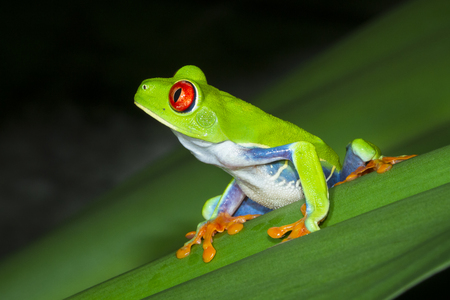 Photo pour A red eyed treefrog (Agalychnis callidryas) on a leaf at night in Tortuguero National Park, Costa Rica. - image libre de droit