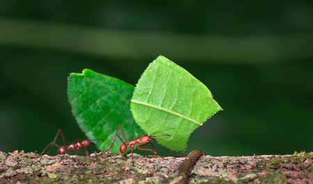 Foto per Leaf-cutter ant (Atta sp.) near Puerto Viejo de Sarapiqui, Costa Rica. - Immagine Royalty Free