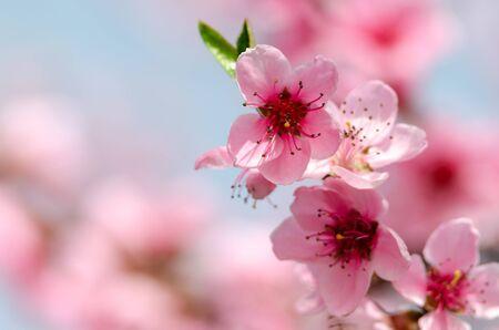 Photo pour beautiful peach blossom - image libre de droit