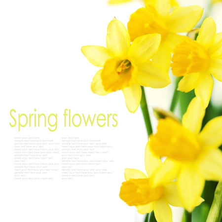 Beautiful daffodils on white background  (with easy removable text)