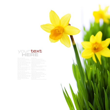 daffodils in green grass over white (with easy removable sample text)