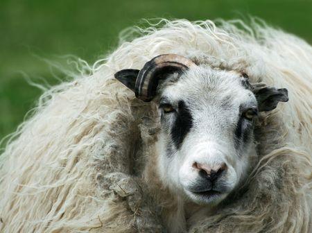 Nasty looking punk sheep