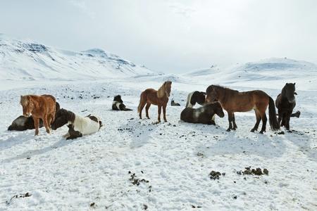 A herd of free-roaming Icelandic horses in the wintertime