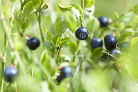 Ripe and ready wild blueberries on the bush - selective focus
