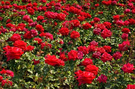 A field of red roses