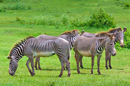Harem of wild zebras in a tropical savanna