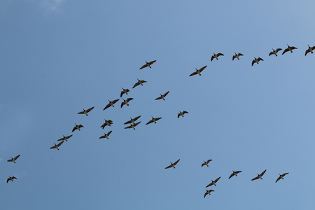 Several flying geese in the sky