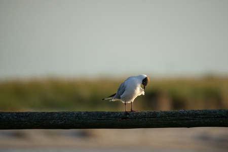 Photo for Black-headed gull on a wooden slat blurred background - Royalty Free Image