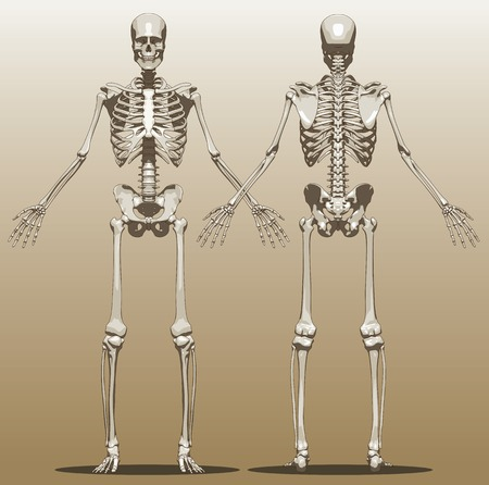 Front and back view of a human skeleton (male). Vector Illustration