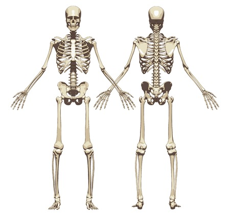 A human skeleton. Front and back view isolated on a white background. Vector illustration